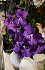 orchid e phalaenopsis une sp cialit fleurodet. Black Bedroom Furniture Sets. Home Design Ideas