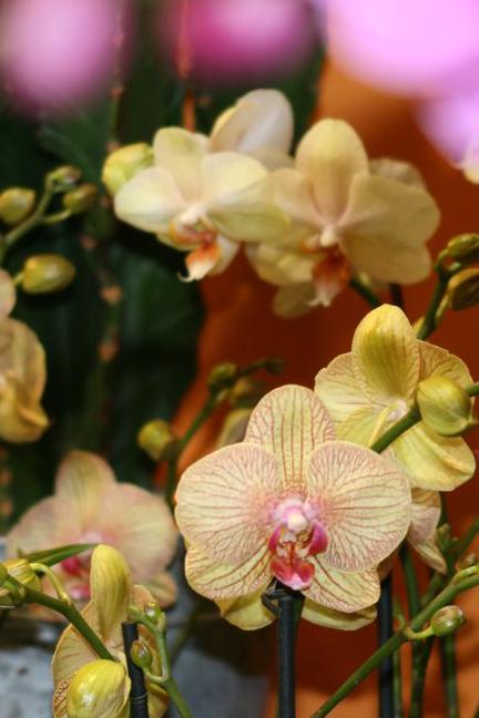 Orchid e phalaenopsis une sp cialit fleurodet - Orchidee entretien apres floraison ...