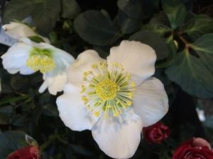 Fleur blanche et étamine jaune de la rose de Noël