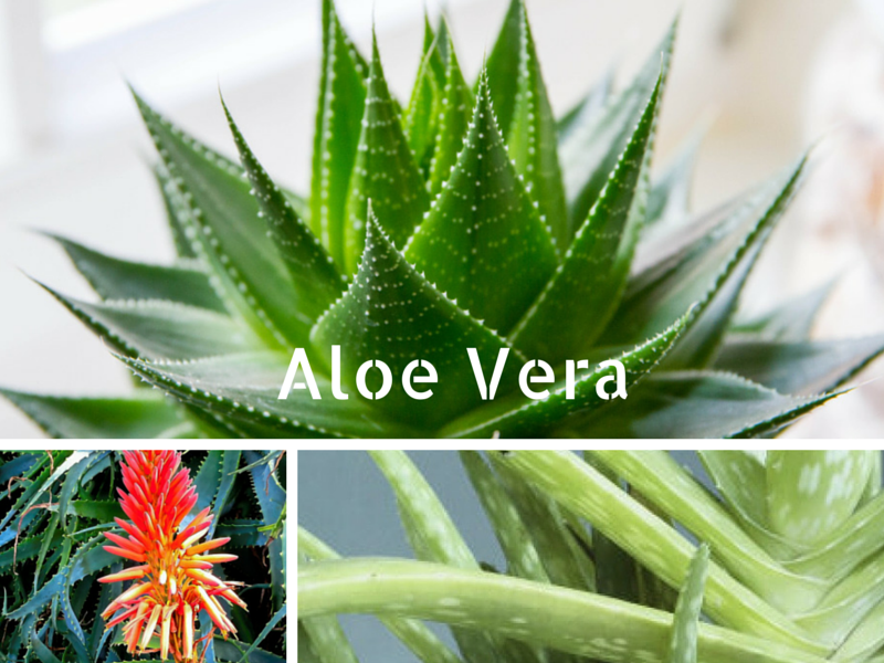 Les plantes vertes depolluantes de la maison - Plante aloe vera chambre ...