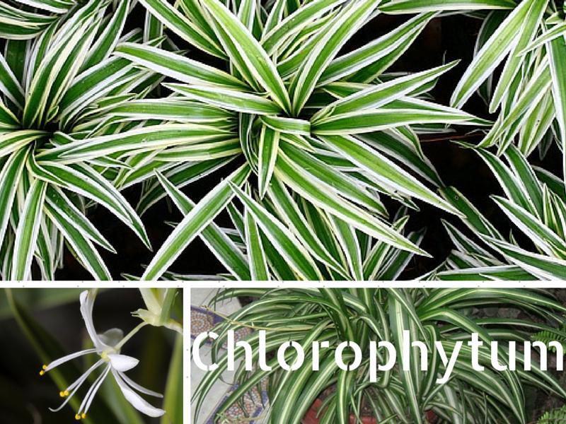 Facile d'entretien, le Chlorophytum comosum est une plante verte purifiante, parfaite dans une chambre ou un bureau