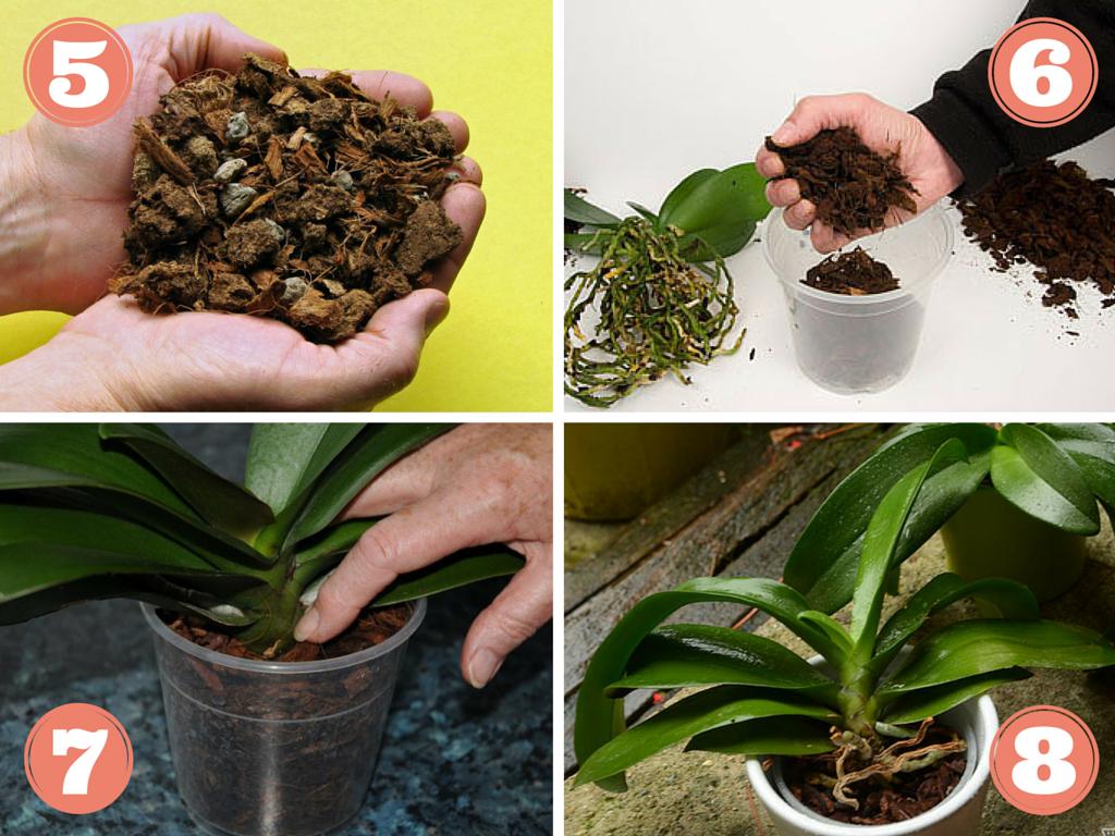 rempoter orchidée